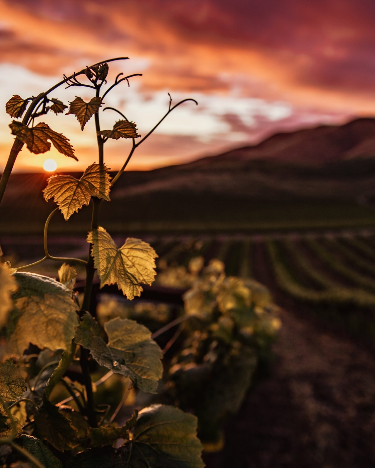 Vineyards in countryside of France at sunset